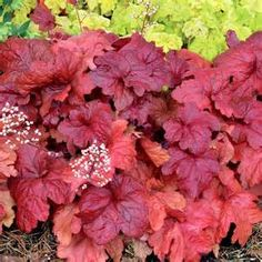 heuchera fire chief - Bing Images