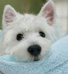 Pictures of West Highland Terriers and Westie mixes. To submit photos of Westies and Westie mixes,. Westies, Westie Puppies, Cute Puppies, Dogs And Puppies, Doggies, Puppy Goldendoodle, Bichons, West Highland Terrier, Highlands Terrier