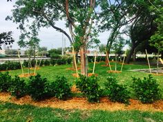 CLUSIA PLANTS WITH GUMBO LIMBO TREE IN REAR Clusia, Pompano Beach, Gumbo, Entrance, Vineyard, Landscape, Plants, Coral, Outdoor