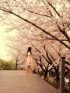 Cherry Blossom, Busan, Korea