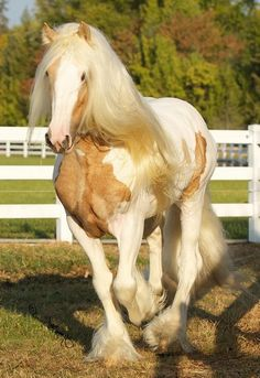 I've never been a big fan of palomino...unless it's spotted and on a Gypsy horse.