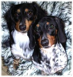 Wow. I really LOVE the long hair pied-ball dachshund! (The black and white one)