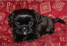 black imperial shih tzu puppies   Zoe Fans Blog