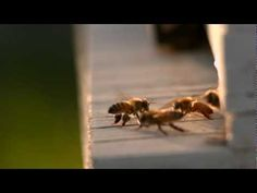 Dance of the Honey Bee ~ A short film about honey bees by Peter Nelson. Original score by John Powell. Narrated by Bill McKibben. Filmed as part of the Miro Inspiration Challenge sponsored by Vision Research and Abel Cine.