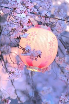 Lanterne e ciliegi in fiore Kyoto