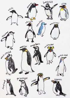 I had no idea there were so many different species of penguins. Penguin Bird, Penguin Animals, Gentoo Penguin, Penguin Love, Cute Animals, Different Types Of Penguins, Pinguin Illustration, Pinguin Tattoo, Penguin Images
