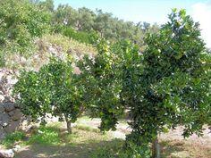 Espalier Magnolia Trees   Shrubs for espalier/ >> /build a pvc espalier frame/