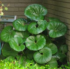 You are buying 12 FRESH Farfugium Japonicum Giganteum / Leopard Plant Seeds.giganteum is very similar to the species except its leaves are larger (to across). Shade Garden Plants, Patio Plants, Landscaping Plants, House Plants, Tropical Backyard Landscaping, Shaded Garden, Witch's Garden, Landscaping Ideas, Backyard Ideas