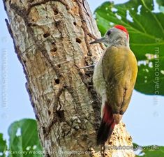African Grey Woodpecker Dendropicos goertae - Google Search