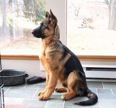 German Shepherd pup #Alsatiandogs #germanshepherd