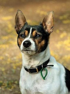 Tenterfield Terrier- looks like my Tinker Dog! Dog Pictures, Animal Pictures, Animals Beautiful, Cute Animals, Rare Dogs, Rat Terriers, Terrier Dogs, Animal Tracks, Dog Varieties