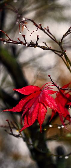 Color Theory Therapy| Serafini Amelia| Red Leaves+Grey Hues-Autumn leave (by harry eppink)