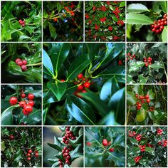 Beautiful Holly Berries for Christmas & Winter
