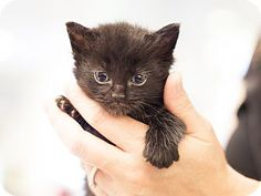 ADOPTED!  Meet Stannis - Myrcella's kitten, a kitten for adoption at East Lake Pet Orphanage (ELPO).