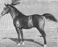 Witez II - Polish Arab stallion