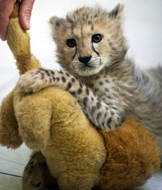 A two-month female cheetah cub is presented to the media at the zoo in Lodz, Poland