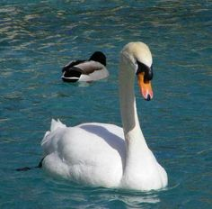 This swan picture was taken in downtown Scottsdale at the Scottsdale Civic Center Mall.