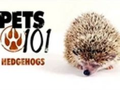 How about a pet hedgehog?