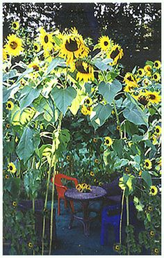 Sunflower Garden Ideas sunflower plants in my spring front yard border Find This Pin And More On Garden Art Ideas