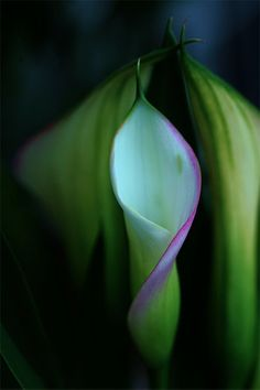 Cala Lily Love 03 by TruemarkPhotography