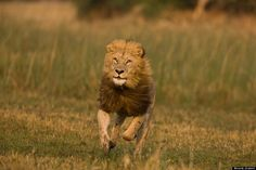 run wild lion Animals And Pets, Cute Animals, Wild Animals, Lions Photos, Lion Love, Wild Lion, Beautiful Lion, Clouded Leopard, Animal Help