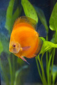 Golden Diamond Discus in Planted Aquarium