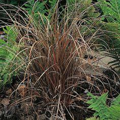 Hochwertig Carex Bronze Ornamental Grass Seeds U2013 Under The Sun Seeds