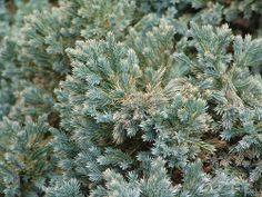 Juniperus squamata 'Blue Star' Leaf Flowers, White Flowers, Juniperus Squamata, Variegated Plants, Foliage Plants, Red Cedar, Botanical Gardens, Planting Flowers, Planters