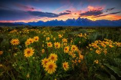 Yellow wildflowers carpet the landscape with a blue mountain range in the background illuminated from behind by the golden sun