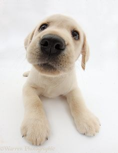 Yellow Labrador Retriever | WP34841 Yellow Labrador Retriever puppy, 8 weeks old, lying with head ...