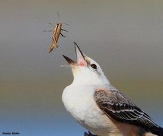 Things you don't see often -- A scissor-tailed flycatcher playing w/ its food at Merritt Island Wildlife Refuge, Florida