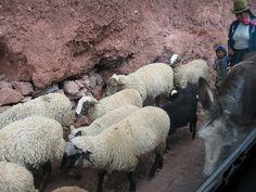 Sheep herd in Peru.