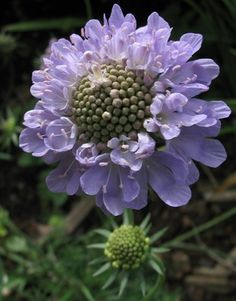 Houweling Perennials Scabiosa