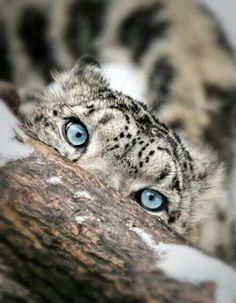 Snow Leopard with mesmerizing eyes! My favorite animal                                                                                                                                                     More