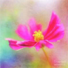 Cosmos Flowers Love To Dance Art Print by Anita Pollak.  All prints are professionally printed, packaged, and shipped within 3 - 4 business days. Choose from multiple sizes and hundreds of frame and mat options.