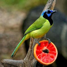 Green Jay (Cyanocorax luxosus) tropical North America to Mexico and Central America
