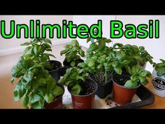 (601) Basil, How To Grow More Than You Can Eat - YouTube