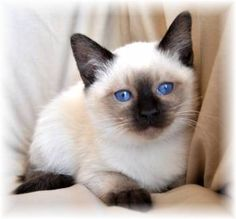 Balinese kitty :) my ideal cat