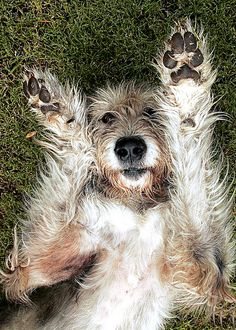 irish wolfhound lying on back on grass  I surrender | Flickr - Photo Sharing!