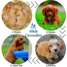 Cavoodles are intelligent and affectionate small sized dogs and are low shedding and allergy friendly! Small Sized Dogs, Allergies, Puppies, Cubs, Pup, Newborn Puppies, Puppys, Doggies, Teacup Puppies