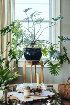 Xanadu Philodendron / Bursting With Plants, a 1910 Portland Foursquare for a Florist and Barista Green Plants, Tropical Plants, Wooden Greenhouses, Decoration Plante, Deco Nature, Plants Are Friends, Interior Plants, Green Life, Artificial Plants