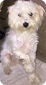 Thousand Oaks, CA - Maltese/Poodle (Miniature) Mix. Meet Janet, a dog for adoption. http://www.adoptapet.com/pet/13380991-thousand-oaks-california-maltese-mix