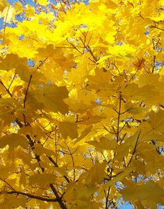 yellow-leaves