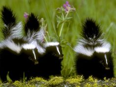 Skunk Trapping And Skunk Removal Services. Control Skunks And Skunk Odor. Remove Skunks Under Decks And Sheds. Skunk Facts, Beautiful Creatures, Animals Beautiful, Striped Skunk, Baby Animals, Cute Animals, Wild Animals, Baby Skunks, Trolls