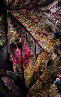 Darkly colored leaves