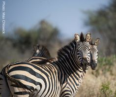 If they're hungry enough, zebras will migrate distances of miles to find food. Plains Zebra, Find Food, Fascinating Facts, Wildlife Conservation, African Animals, Zebras, Animals Beautiful, Fun Facts, Survival