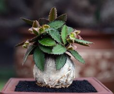 Euphorbia suzannae-marnierae Aloe Plant, Cool Plants, Miniature Garden, Euphorbia, Rock Garden Plants, Euphorbia Flower, House Plants, Air Plants, Planting Succulents