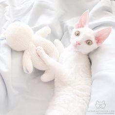 "From @marusya_kitty: ""im a devon rex"" #catsofinstagram by cats_of_instagram"