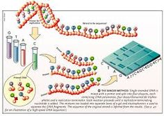 DNA Sequencing Industry Sets its Sights on the Future Human Genome, Genetics, Dna, Science, Magazine, Future, Image, Future Tense, Magazines