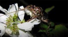 """Investigadores canadienses identificaron un comportamiento sexual inusual en unos insectos del tipo de los grillos que habitan las Montañas Rocosas de Canadá. Dos especies distintas de la zona se están mezclando, según los científicos, posiblemente porque hembras de una especie están """"canibalizando sexualmente"""" a machos de la otra. + info: http://www.ecoapuntes.com.ar/2012/07/seducidos-y-devorados-la-extrana-copula-de-los-grillos-de-canada/"""